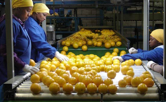 Arbeiterinnen sortieren auf einem Fließband Orangen