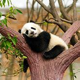 Pandababy schläft auf einem Baum