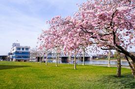 Blühender Kirschbaum am sonnigen Kanalufer