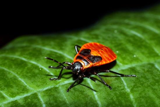 Käfer auf Blatt