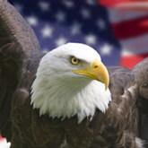 Weißkopfseeadler vor dem Hintergrund der US-amerikanischen Flagge
