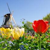 Windmühle die im Hintergrund eines Tulpenfeldes zu sehen ist.